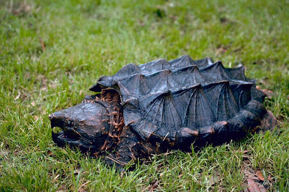 An alligator snapping turtle in the grass : Free Stock Photo