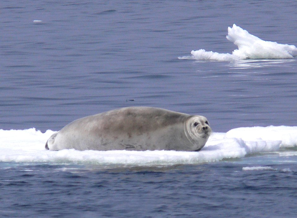 A bearded seal on a floating block of ice : Free Stock Photo