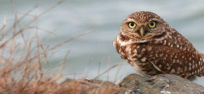 Close-up of a burrowing owl : Free Stock Photo