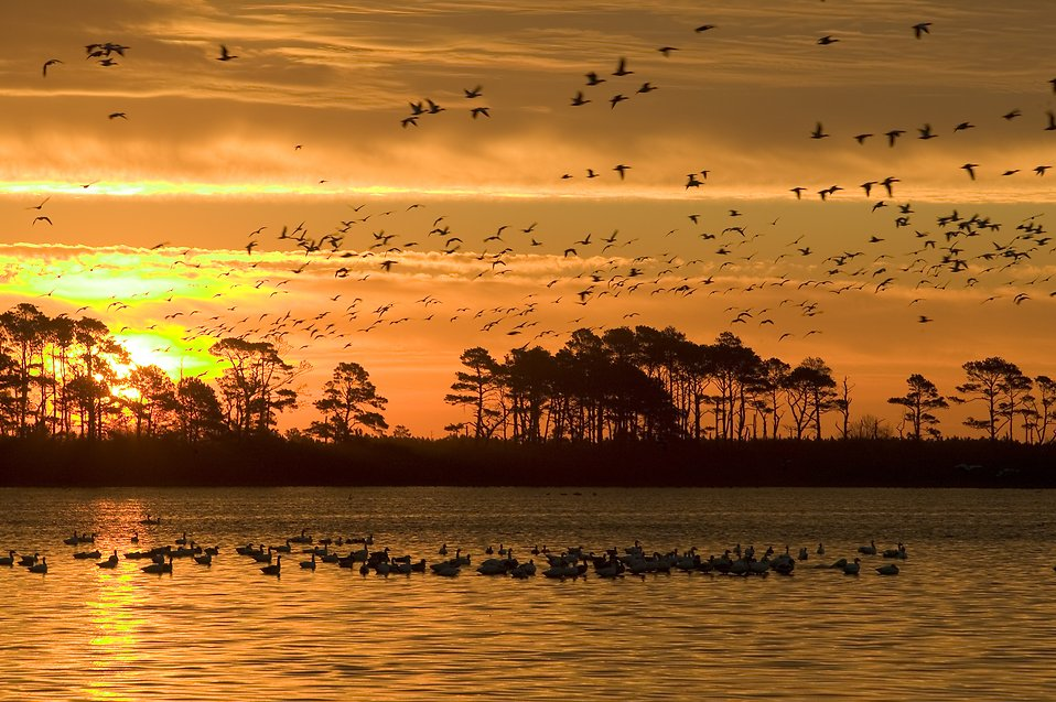 A mixed flock of waterfowl flying in the sunset : Free Stock Photo