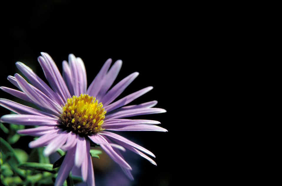 Close-up of a purple New England Aster : Free Stock Photo