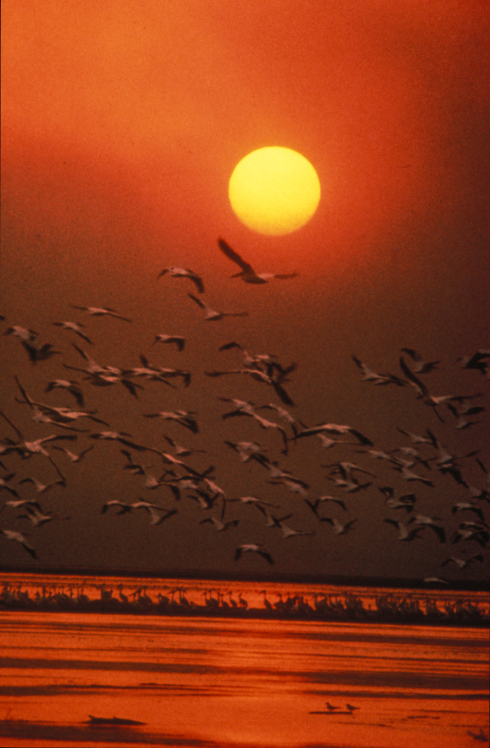 White pelicans flying over the ocean at sunset : Free Stock Photo