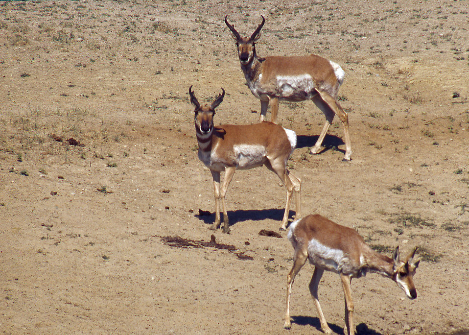 Antelope on a wildlife range in Arizona : Free Stock Photo