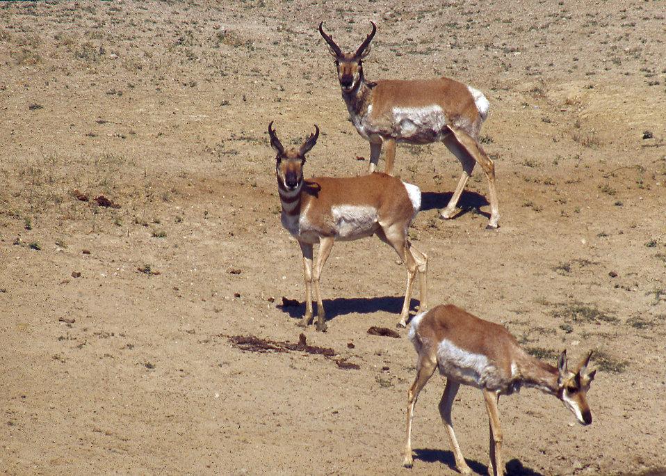 Antelope on a wildlife range in Arizona : Free Stock Photo