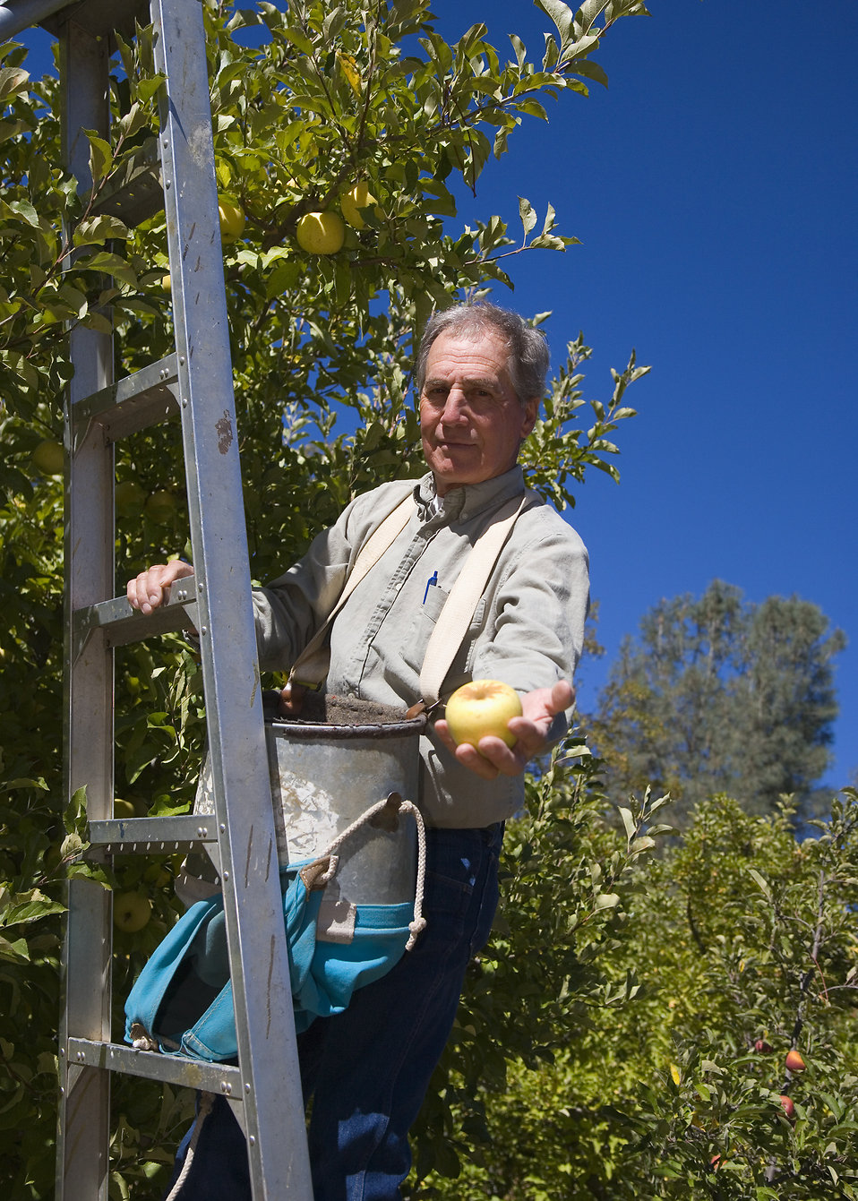 A farmer harvesting apples in an orchard in California. : Free Stock Photo