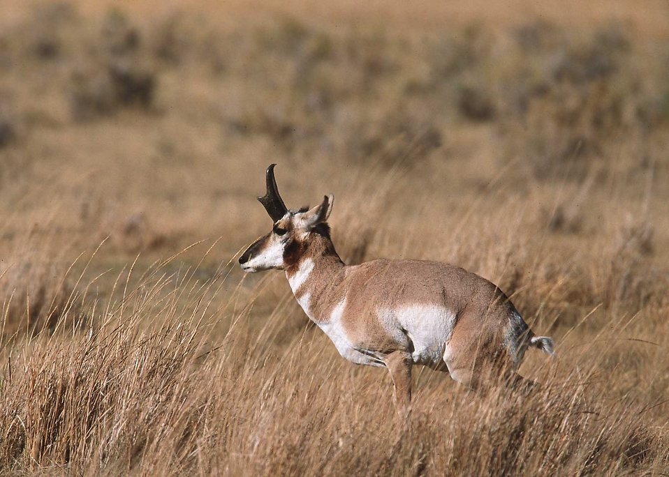 An antelope in a field : Free Stock Photo