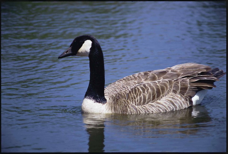 A Canada goose on water : Free Stock Photo