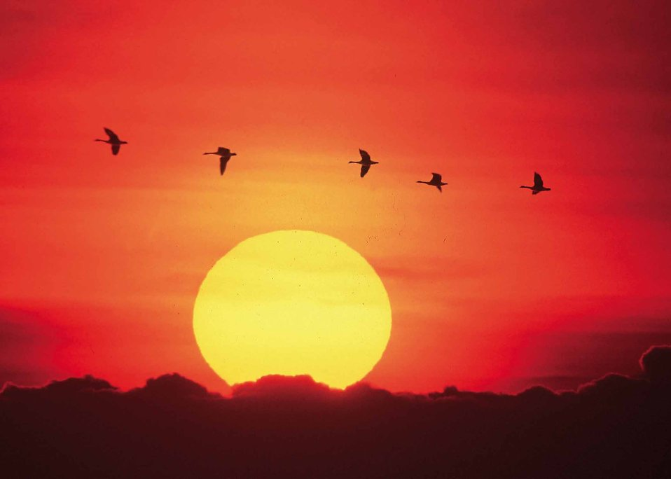Geese flying in front of a setting sun.