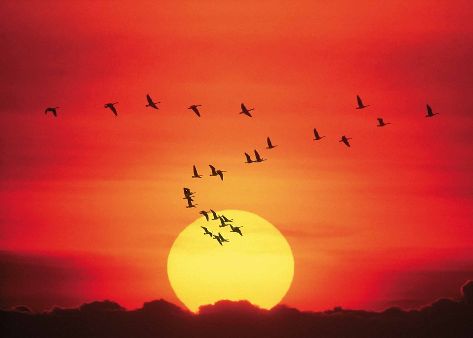 Geese flying in front of a setting sun : Free Stock Photo