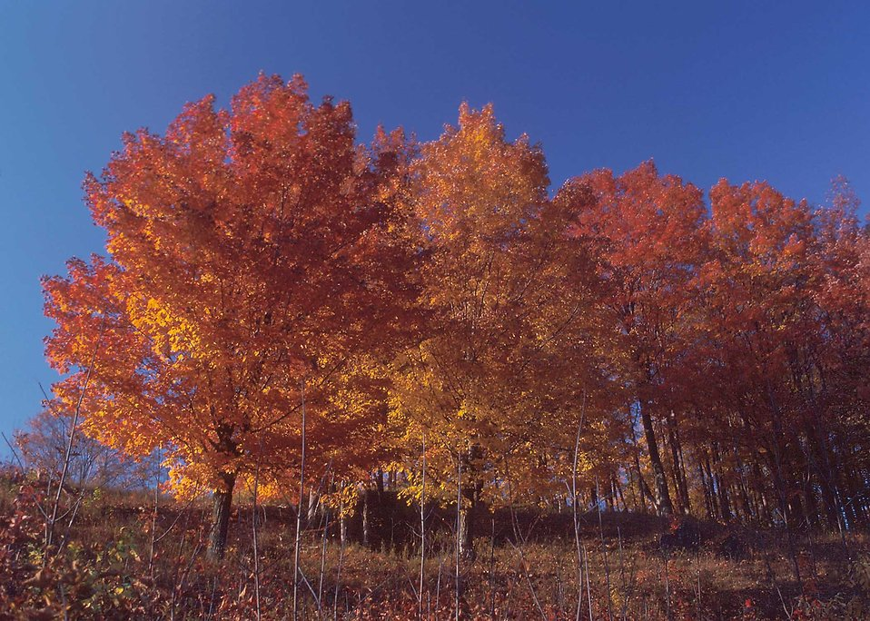 Sugar maple trees with fall foliage : Free Stock Photo