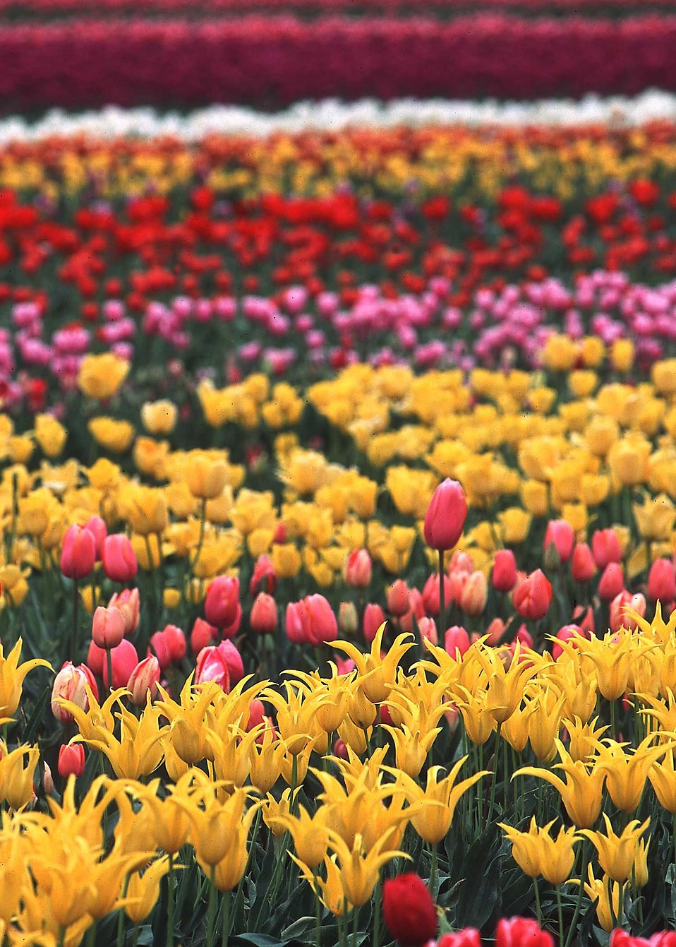 Colorful tulips growing in a field : Free Stock Photo