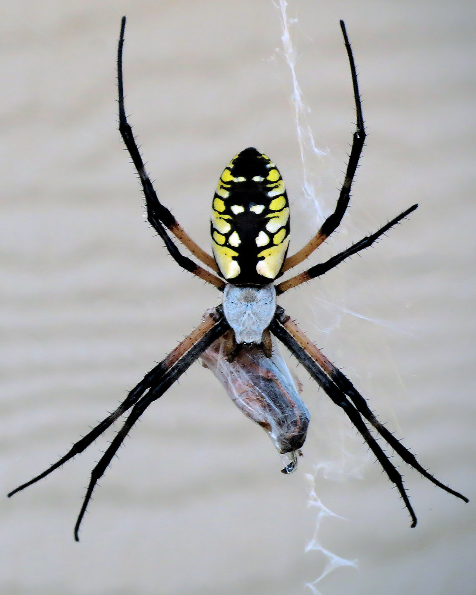 Close-up of a yellow garden spider : Free Stock Photo