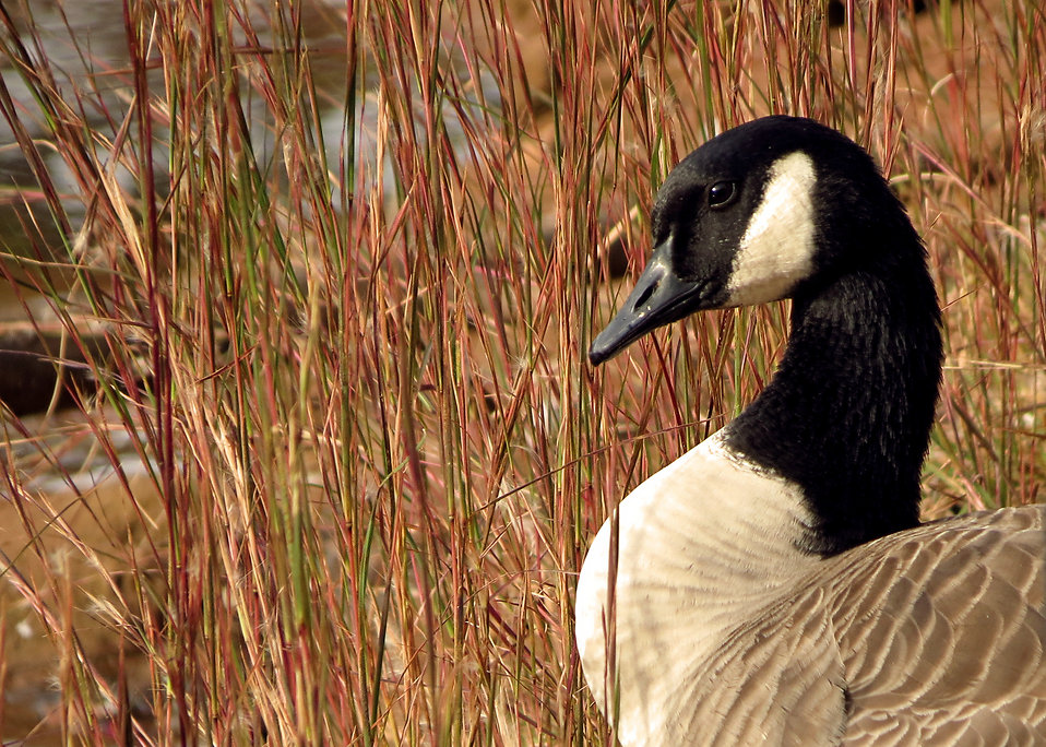 Close-up of a Canada goose : Free Stock Photo