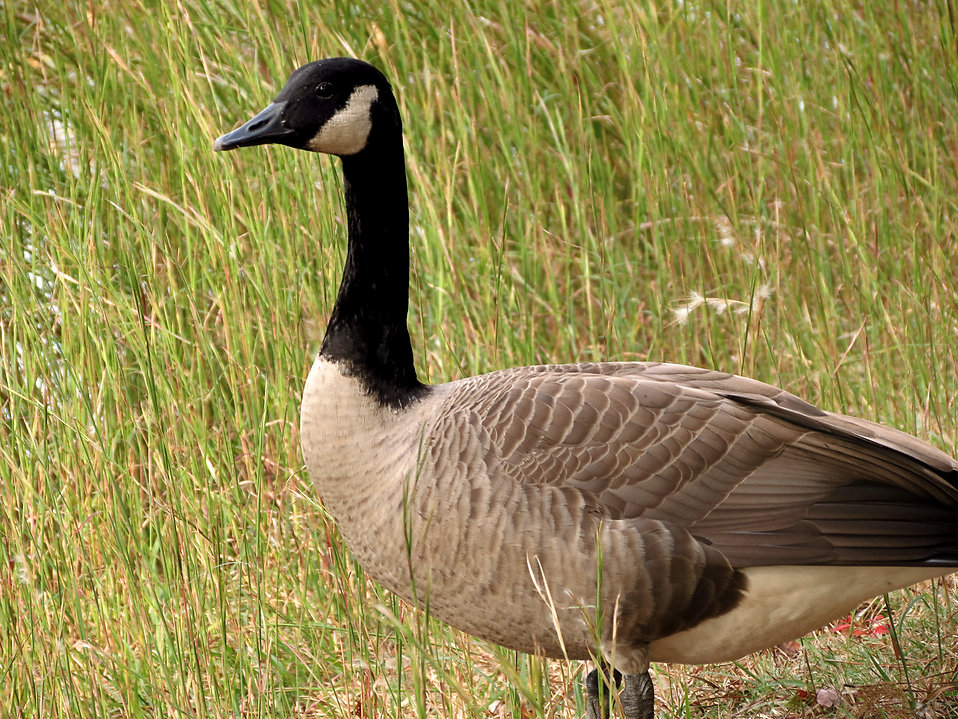 A Canada goose in tall grass : Free Stock Photo