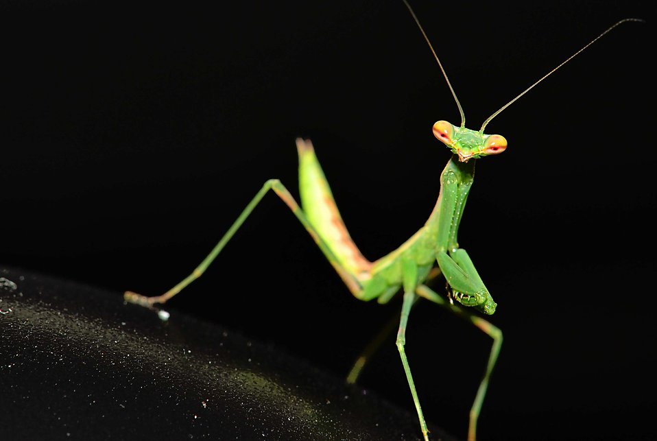 Praying mantis : Free Stock Photo