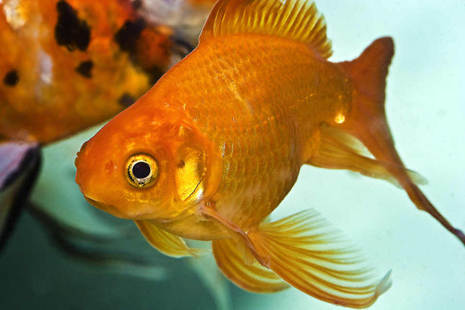 Close-up of a goldfish : Free Stock Photo