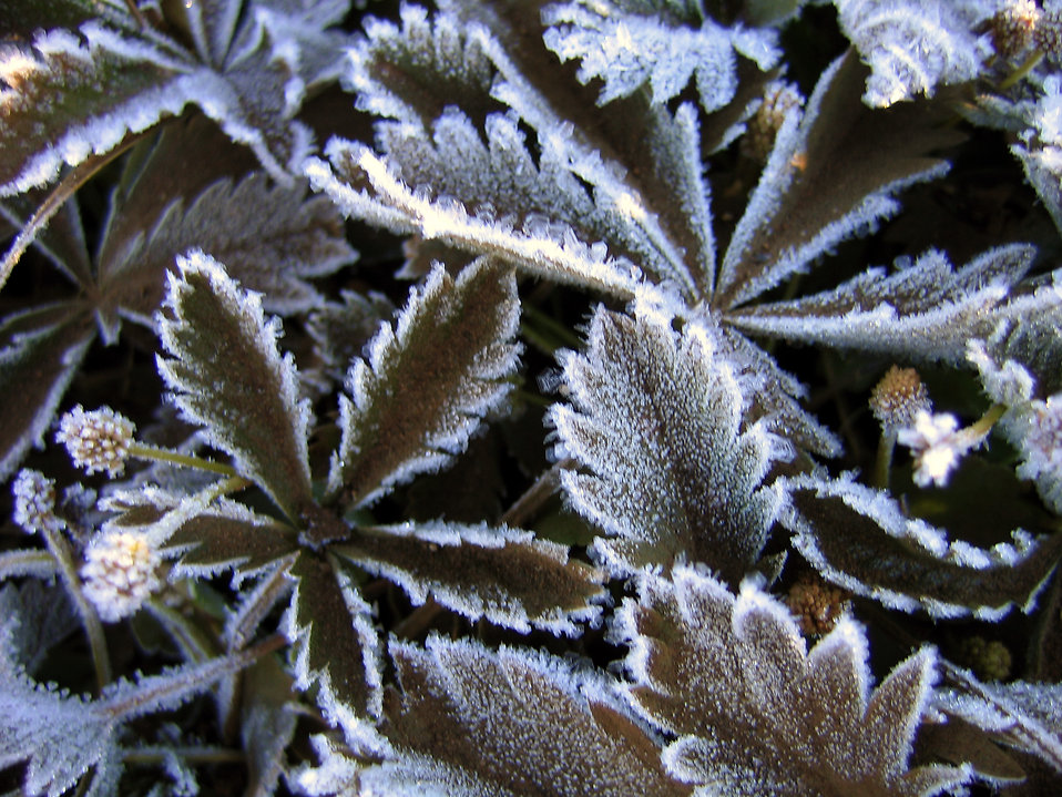 Frost covered leaves : Free Stock Photo