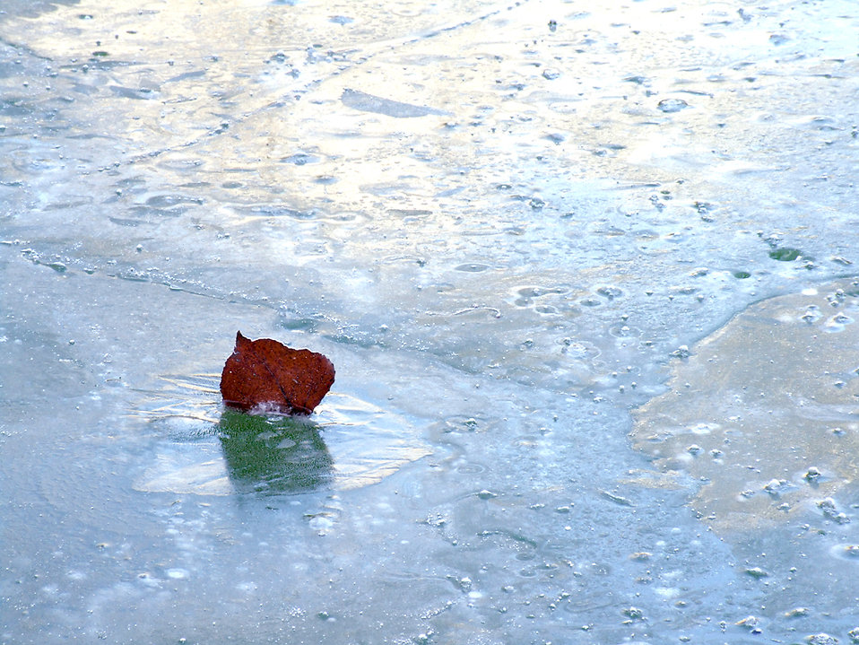 A leaf frozen in water : Free Stock Photo