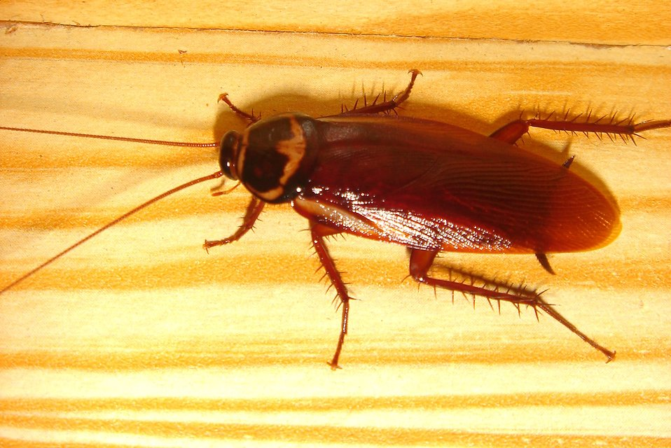Close-up of a cockroach : Free Stock Photo