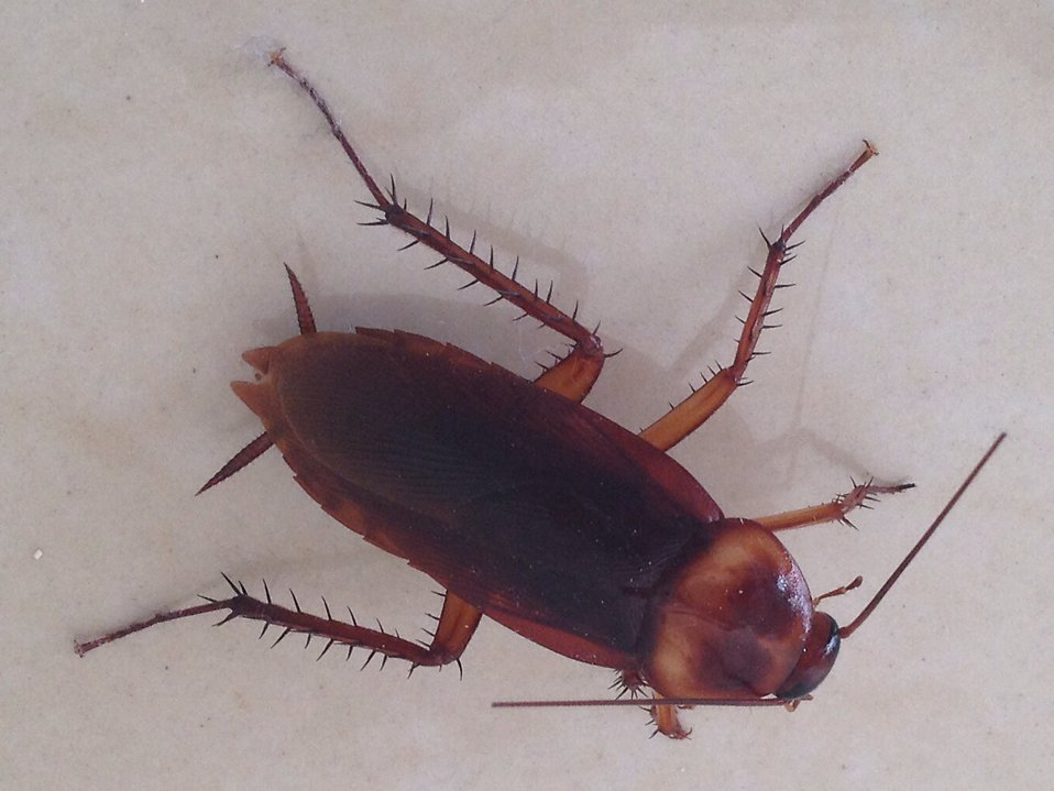 A large cockroach : Free Stock Photo