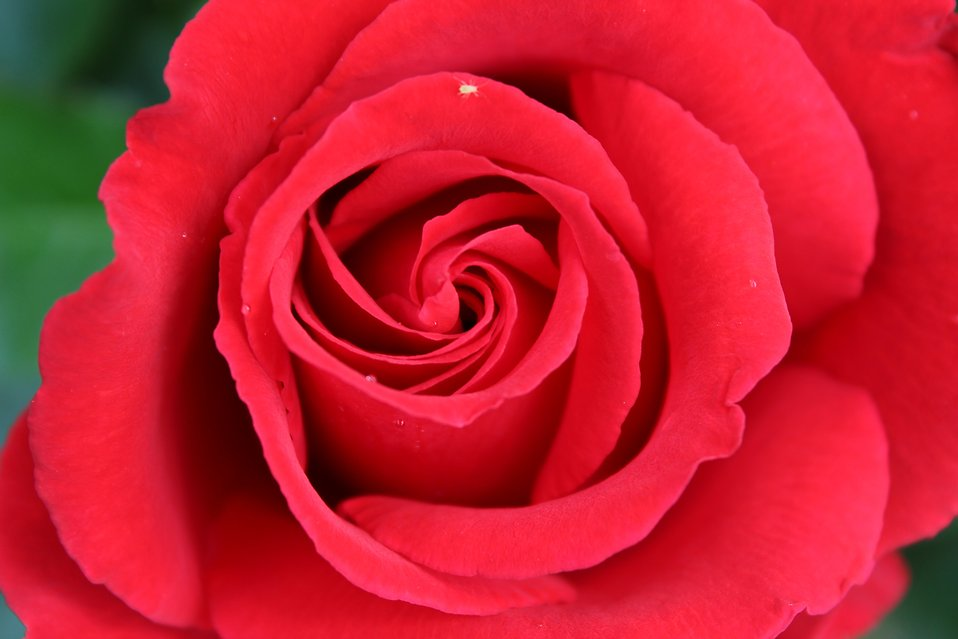 Red rose close-up : Free Stock Photo
