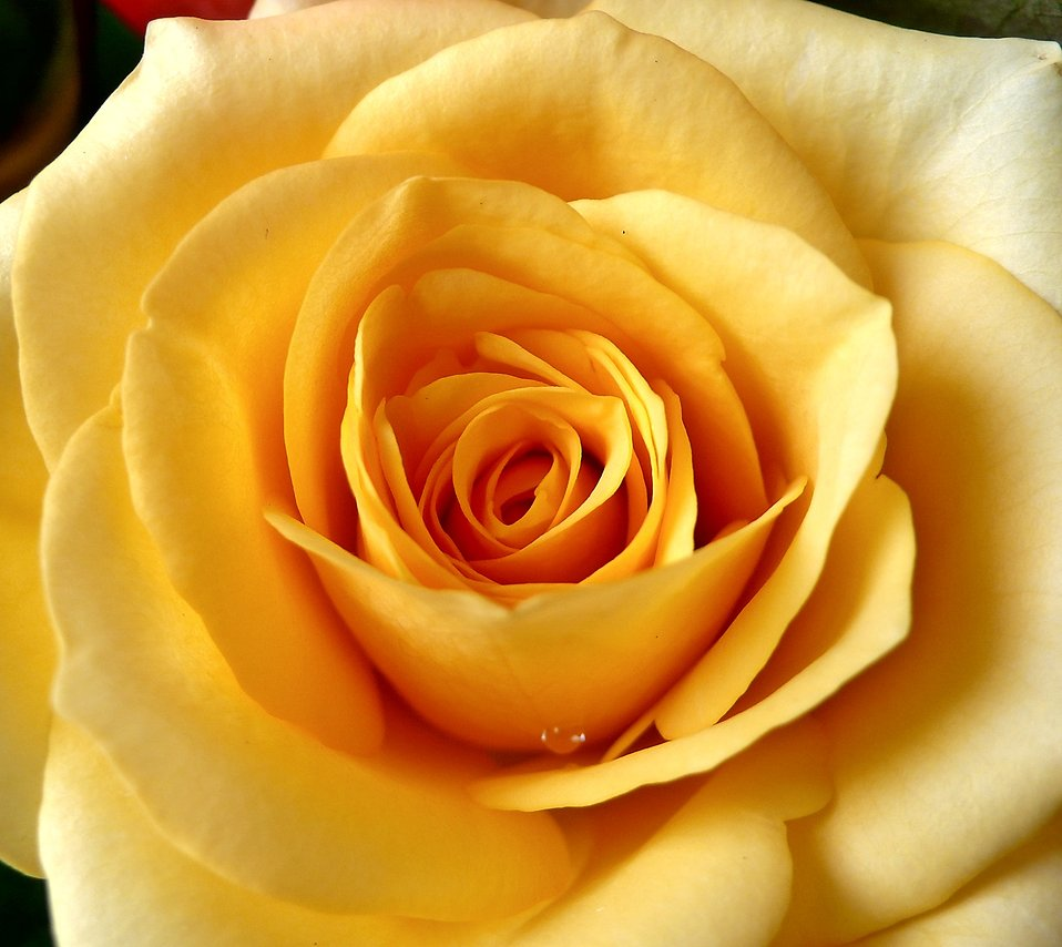 res.freestockphotos.biz/pictures/17/17680-yellow-rose-close-up-pv.jpg