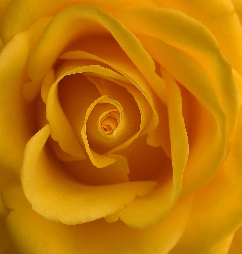 Yellow rose close-up : Free Stock Photo
