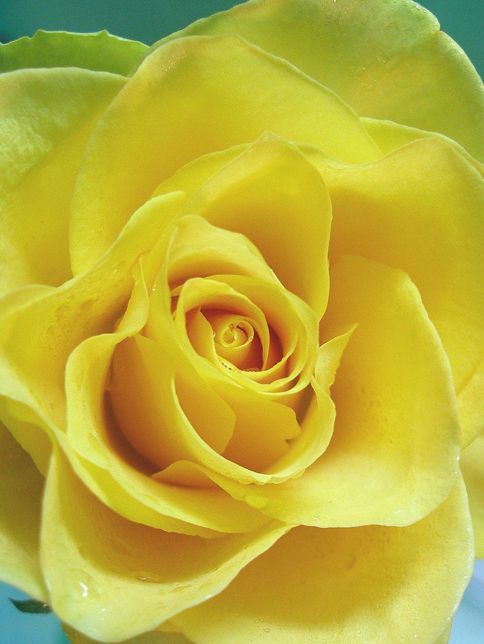 Yellow rose close-up : Free Stock Photo