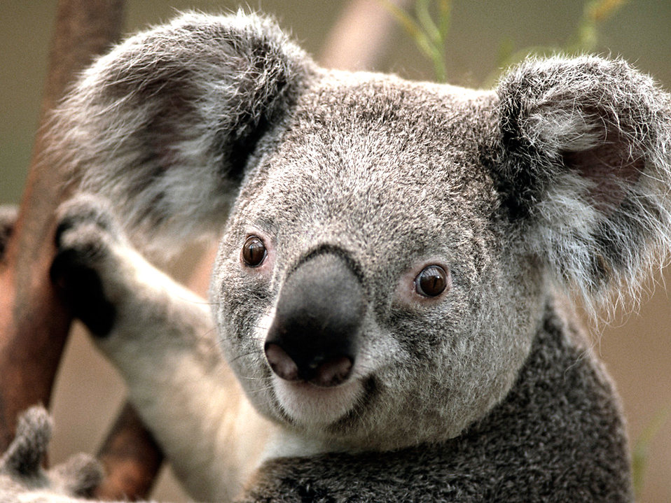 Koala bear : Free Stock Photo