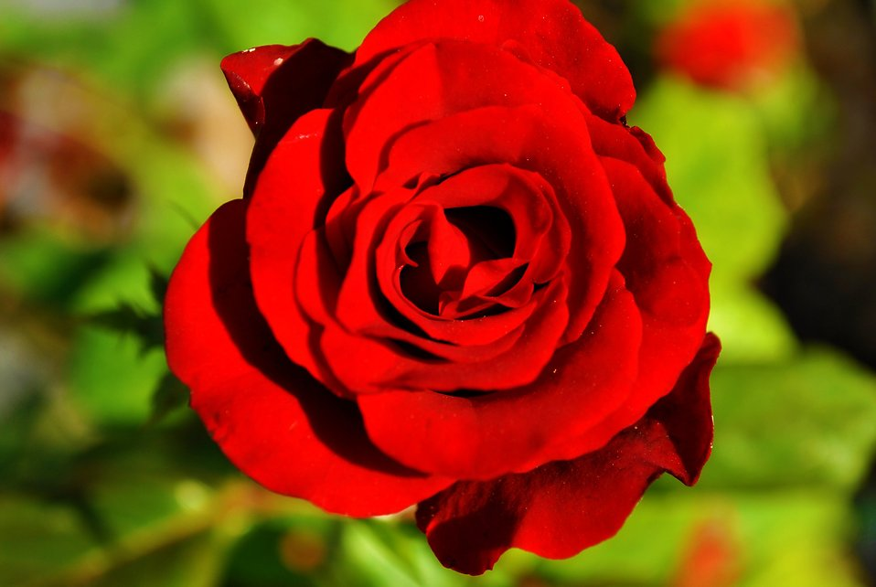 A red rose : Free Stock Photo