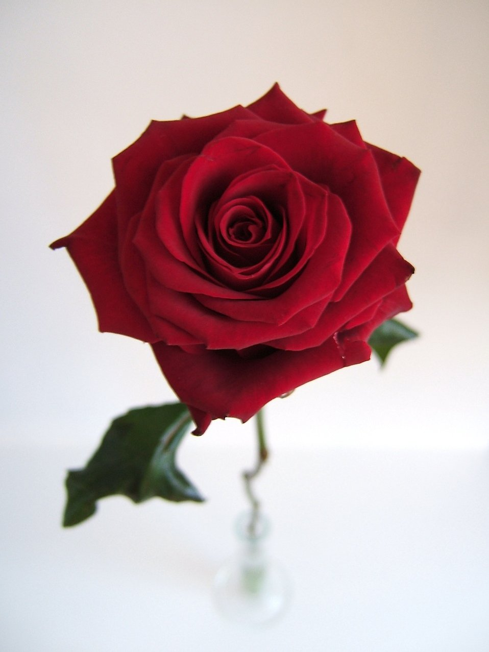 Red rose isolated : Free Stock Photo