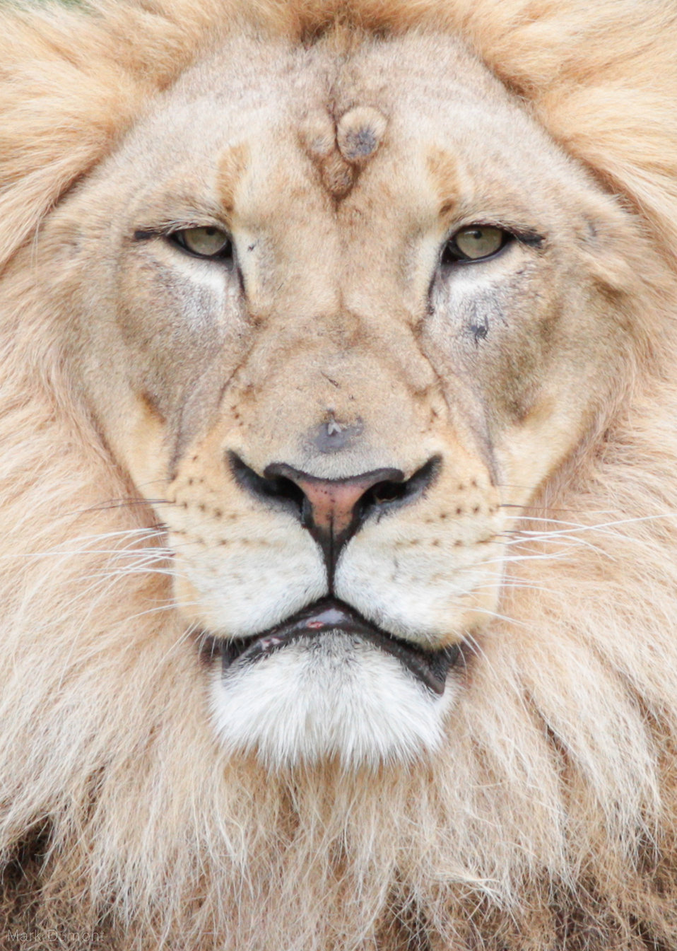 Lion face : Free Stock Photo