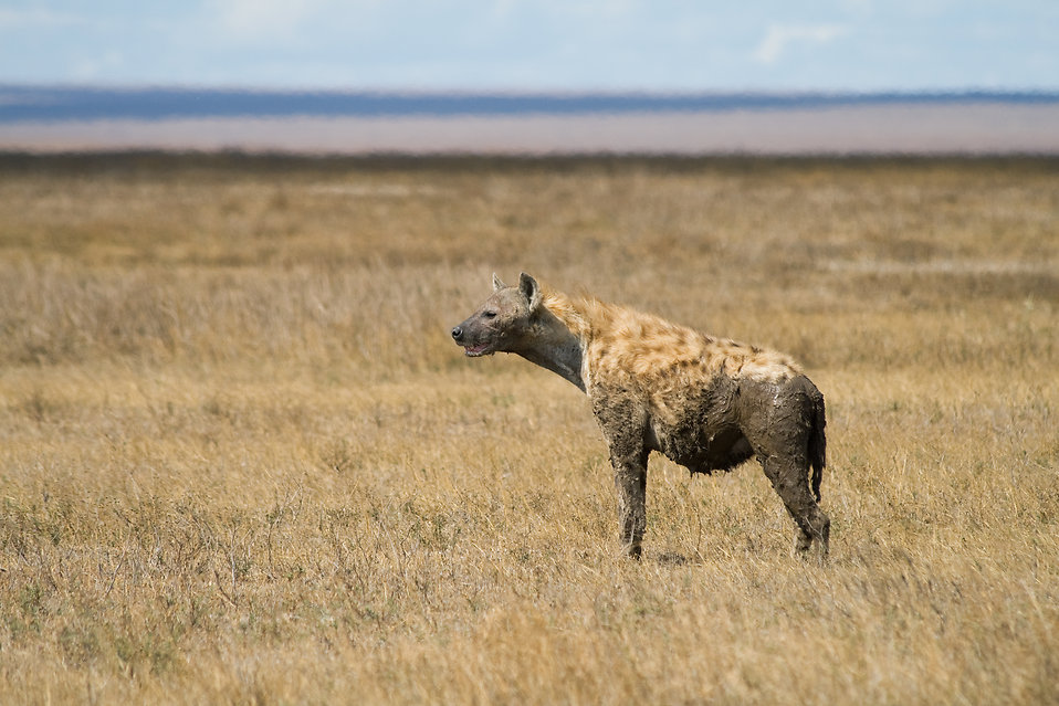 A spotted hyena : Free Stock Photo