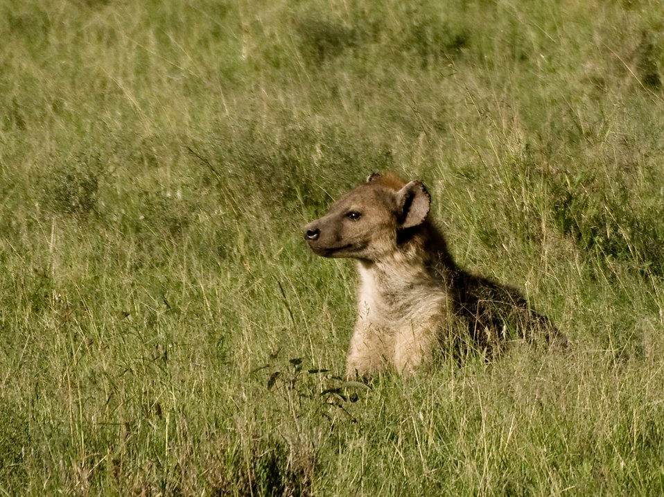 Hyena in tall grass : Free Stock Photo