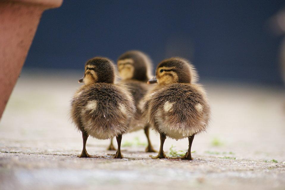 Three ducklings : Free Stock Photo
