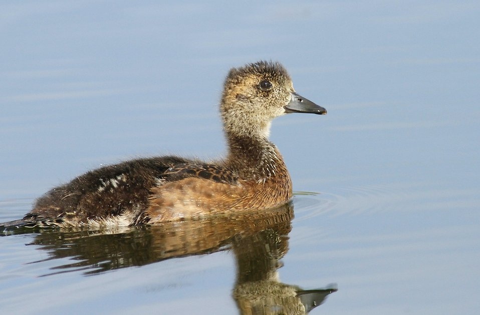 A duckling in the water : Free Stock Photo