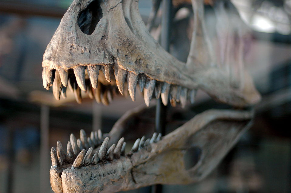 Dinosaur skull : Free Stock Photo