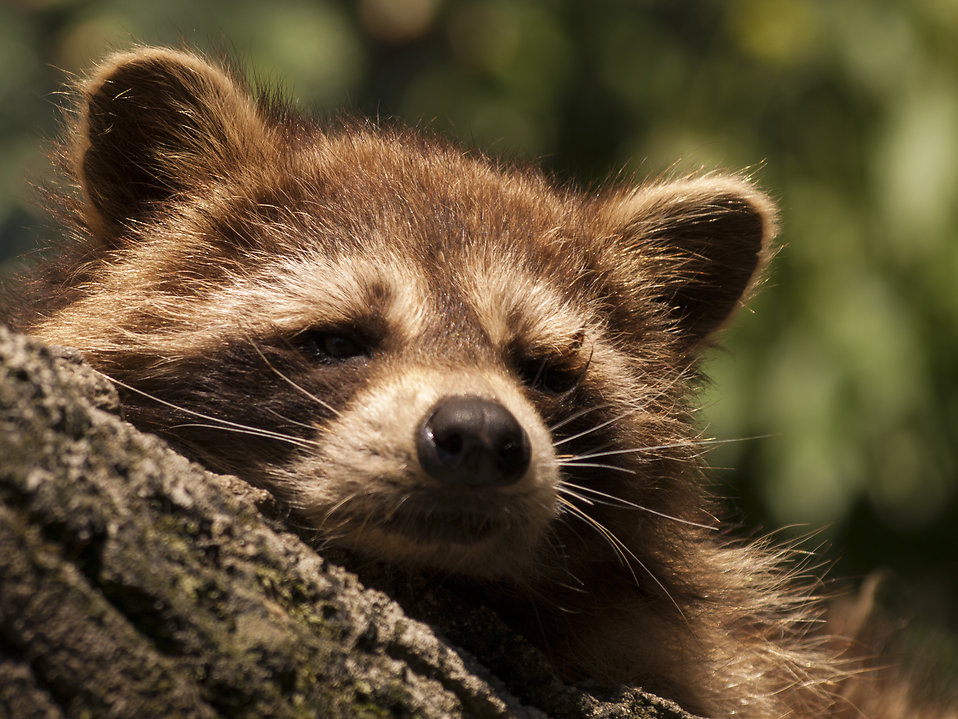 Sleeping raccoon : Free Stock Photo