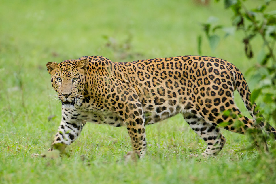 Leopard : Free Stock Photo