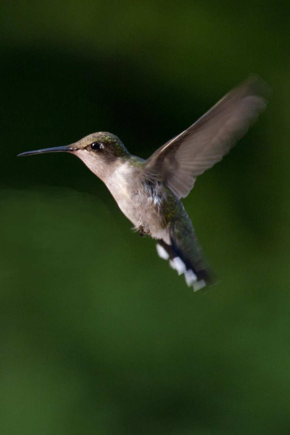 Hummingbird close-up : Free Stock Photo