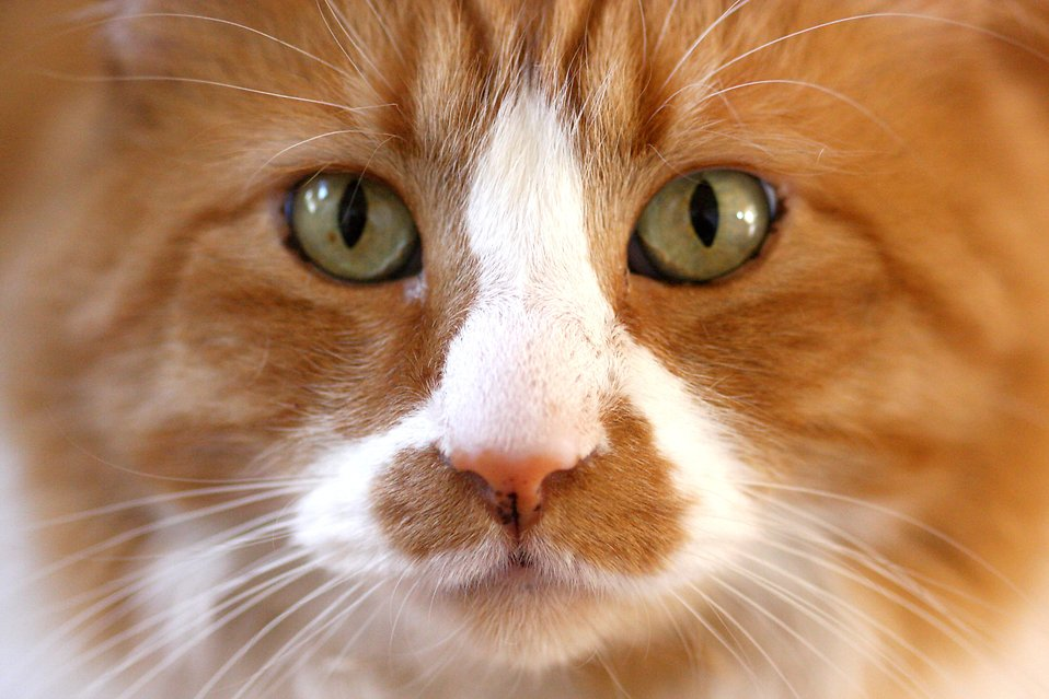 Cat close-up : Free Stock Photo