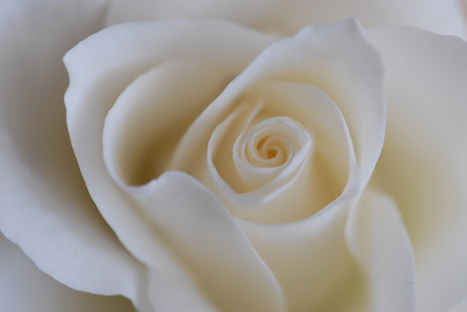 White rose : Free Stock Photo