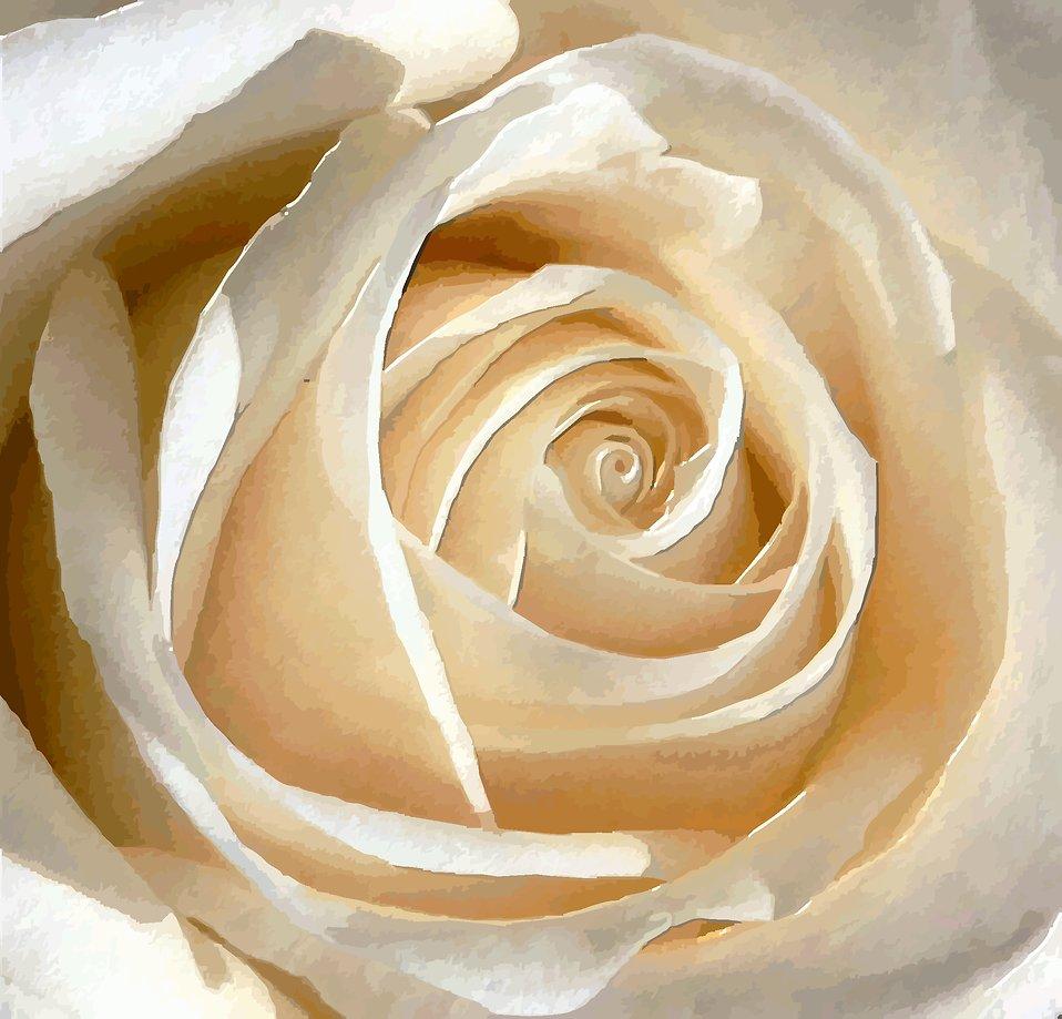 White rose : Free Stock Photo