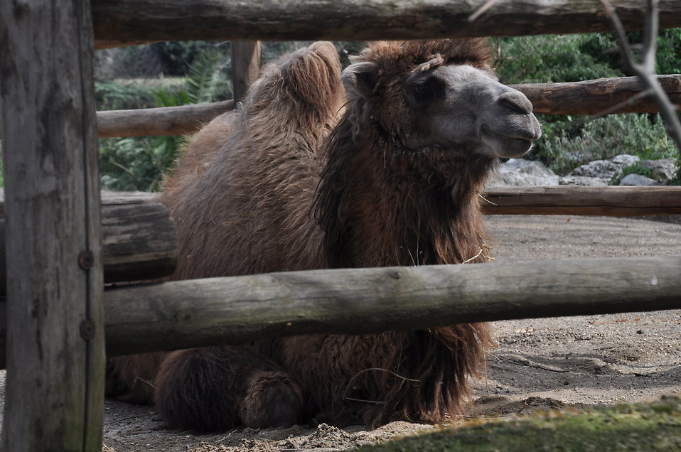Bactrian camel : Free Stock Photo