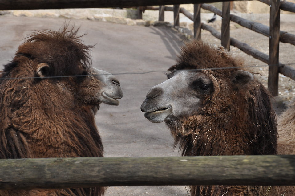 Bactrian camels : Free Stock Photo