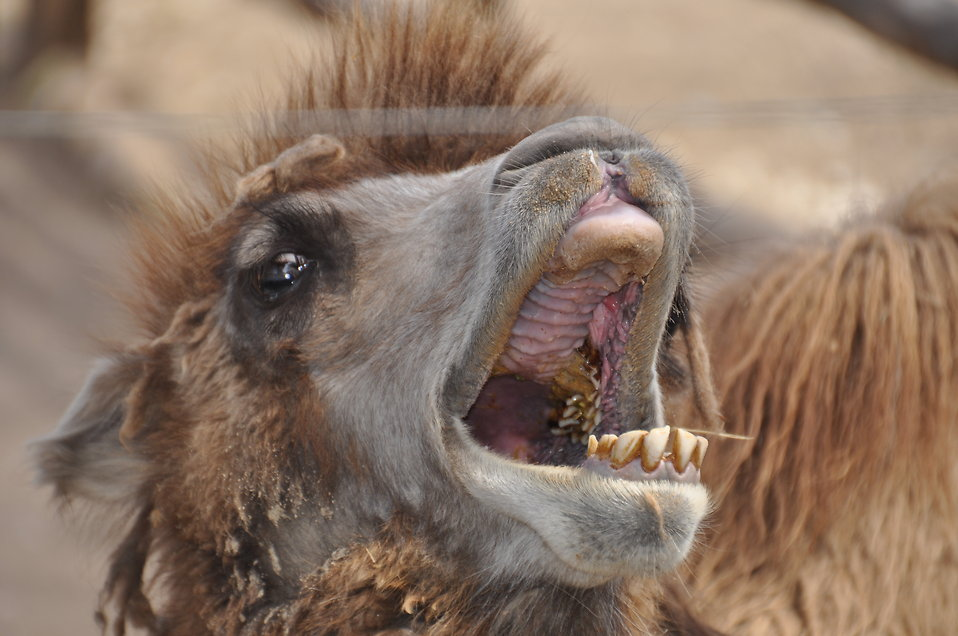Bactrian camel face : Free Stock Photo