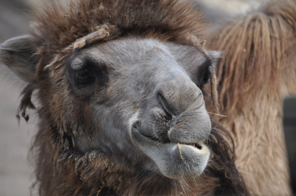 Bactrian camel face : Free Stock Photo