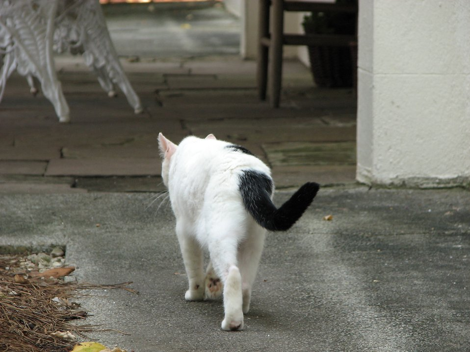 White and black cat walking outside : Free Stock Photo