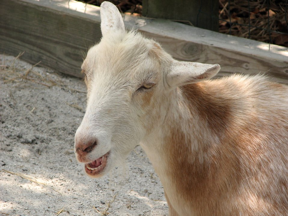 Closeup of a goat with its mouth open : Free Stock Photo