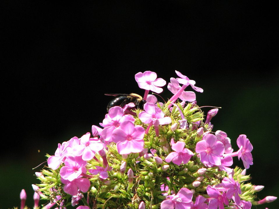 Closeup of a bee on a patch of small purple flowers : Free Stock Photo